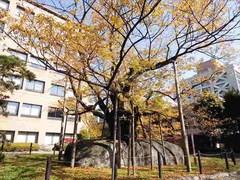 5石割桜2.JPG